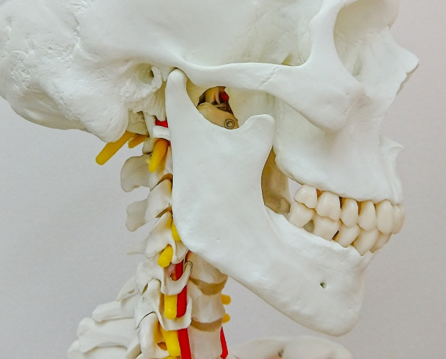 顎関節の模型